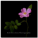 Wild Rose 3 Colorado