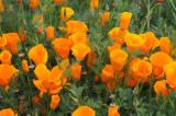The Magnificent California Poppy