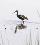 Sandhill Cranes, Ducks, Geese, Swans, Hawks & Other Wildlife of the Sacramento River Delta, 2012-2015