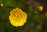 Buttercup.jpg