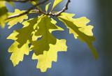 Summer Oak.jpg