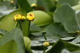 Water Lilies Canim Lake.jpg