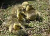 Goslings.jpg