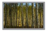 Aspen Forest.jpg
