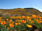 Peridot Mesa Poppies and Coolidge Dam