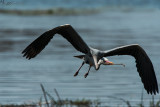 Dust in the Wind with a Grey Heron - South Africa