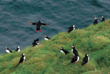 Macareux Taling-off (puffin Iceland Vestman islands)