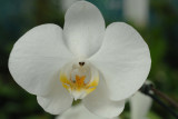 orchidee (Orchid)  2
