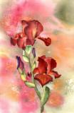 Iris    4-11