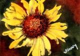 Montana Wildflower      8-11