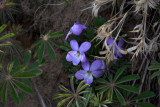 Wild Viola