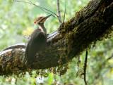 Peliated Woodpecker / Rogue River