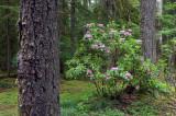 Wild Native Rhododendron