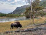 bison, madison river, yellowstone n.p.
