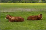 Limousins