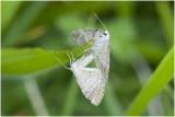 parende Ratelaarspanners - Perizoma albulata