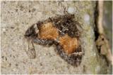 Schimmelspanner - Dystroma truncata,