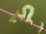 rups van de gestippelde Oogspanner  - Cyclophora punctaria