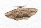 Zwartvlekspikkelspanner - Menophra abruptaria
