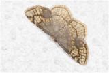 Drievlekspanner - Stegania trimaculata