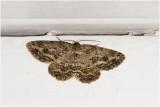 gewone Spikkelspanner - Ectropis crepuscularia