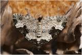 Zwartbandspanner  - Xanthorhoe fluctuata