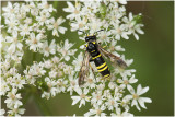echte bladwespensoort - Tenthredo thompsoni