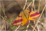 Zuringspanner - Lythria cruentaria – vrouwtje - female