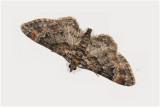 Zwartkamdwergspanner - Gymnoscelis rufifasciata