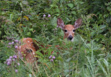 Whitetail Fawn in flowers Mary Lake copy.jpg