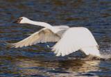 Swan taking flight from Lake Itasca.jpg