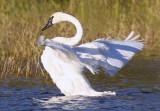 Swan Fan II copy.jpg