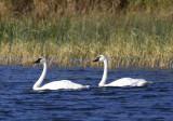 Swan pair copy.jpg