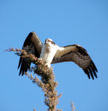 Osprey (January in New Jersey)