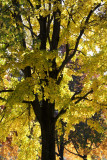 Autumn Leaves Reaching Outward and Upward