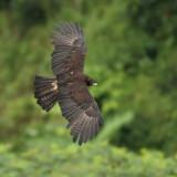 Black eagle (ictinaetus malayensis perniger), Thekkady, India, January 2010