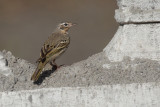 Olive-backed pipit (anthus hodgsoni), Kathmandu, Nepal, March 2011