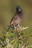 Red-vented bulbul (pycnonotus cafer), Kathmandu, Nepal, March 2011