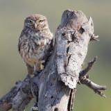 Little owl (athene noctua), Gran Alicant, Spain, June 2011