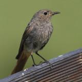 Black redstart (phoenicurus ochruros), Ayer, Switzerland, July 2011