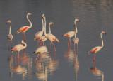 Greater flamingo (phoenicopterus roseus), Santa Pola, Spain, June 2011