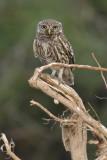 Little owl (athene noctua), Cuidad de Quesada, Spain, June 2007
