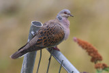 Turtle dove (streptopelia turtur), Penthaz, Switzerland, July 2011