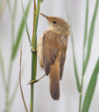 Reed warbler (acrocephalus scirpaceus), Champ-Pittet, Switzerland, August 2011