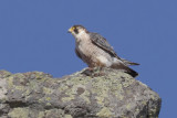 Barbary falcon (falco (peregrinus) pelegrinoides), Barranco de Juan Vera (La Gomera), Spain, September 2011