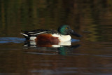 Northern shoveler (anas clypaeta), Noville, Switzerland, November 2011