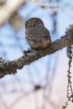 Eurasian pygmy owl (glaucidium passerinum), Valais, Switzerland, November 2011