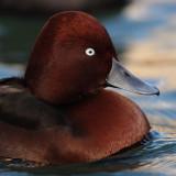 Ferruginous duck (aythya nyroca), Morges, Switzerland, November 2011