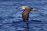 Cory's shearwater (calonectris diomedea), Playa de las Americas (Tenerife), Spain, September 2011