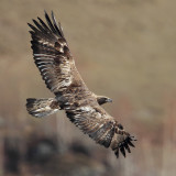 Accipitridae I (Osprey, Old world vultures, Eagles)